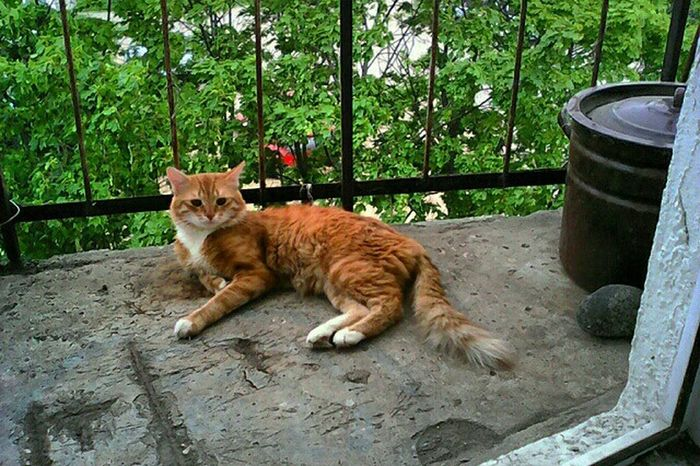 Тим Тимыч Relaxing рыжий кот Check This Out Ginger Cat Eye4photography  EyeEm Gallery My Pet My Cat мой кот