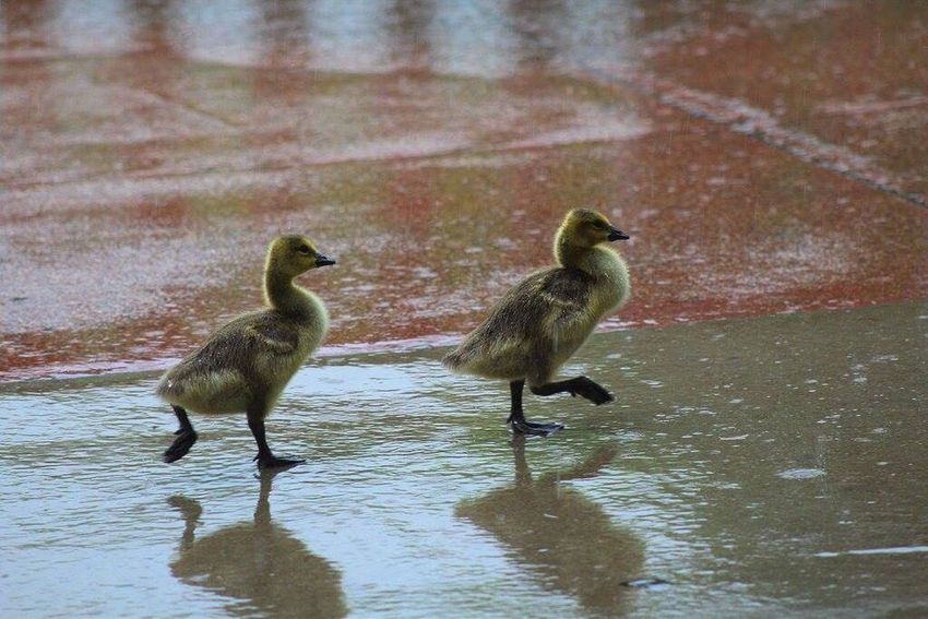 Baby geese ❤️ Babyanimals Babygeese Animal_collection Animal Love Animallovers Animalsofinstagram Animal Photography Animal Lover Zoo Animals  Zoo Day Zoo Fun Zoo Photography  Zoophotography ZOO-PHOTO Babyanimalpics