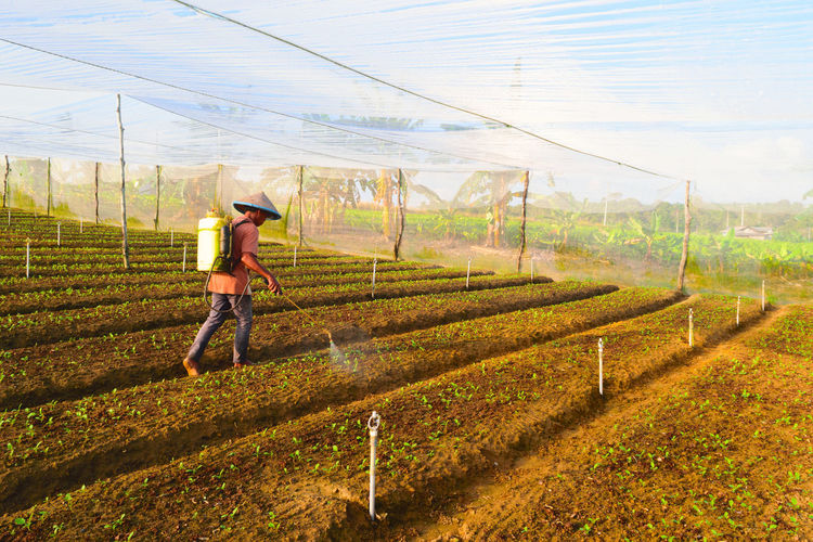 Farmer spraying insecticide on plants at agricultural field