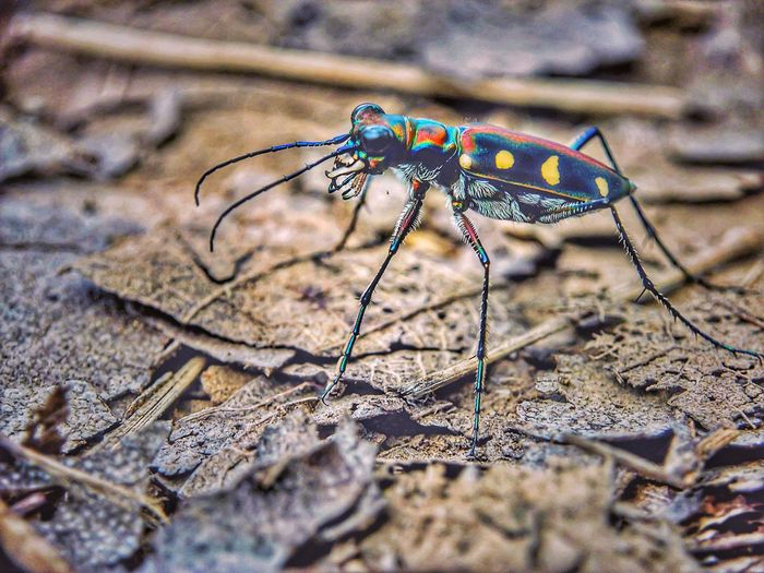 Macro Photography Macro Beauty Insect Insects  Tiger Beetle Colors Colorful