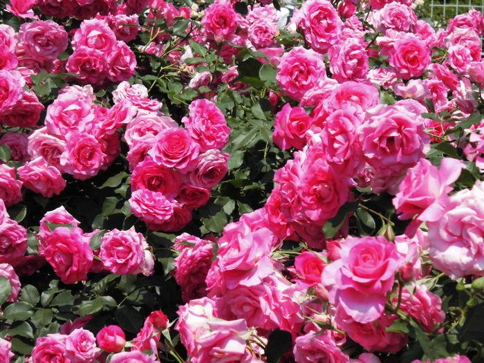バラ バラ 薔薇 はな 花