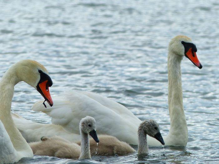 White Swan Family Swimming In Lake
