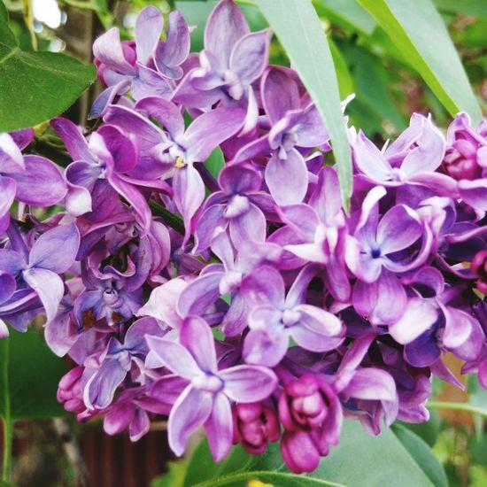 Colorful Lilac Flowers Ukraine Likeit Relaxing Nature Hello World Enjoying Life