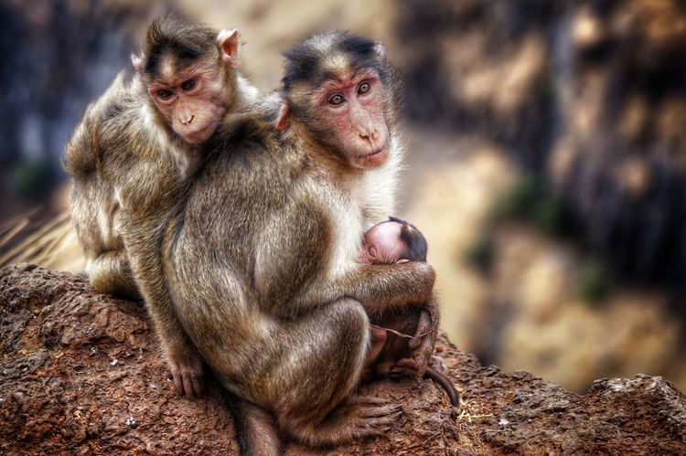 Monkey Family Babymonkey Hillstation Animal Family Outdoors Close-up Manual Mode Photography SonyAlpha58 ClickedByMe Pet Portraits