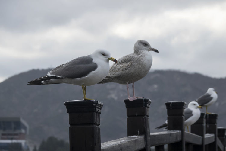 Seagulls perching on bridge against cloudy sky