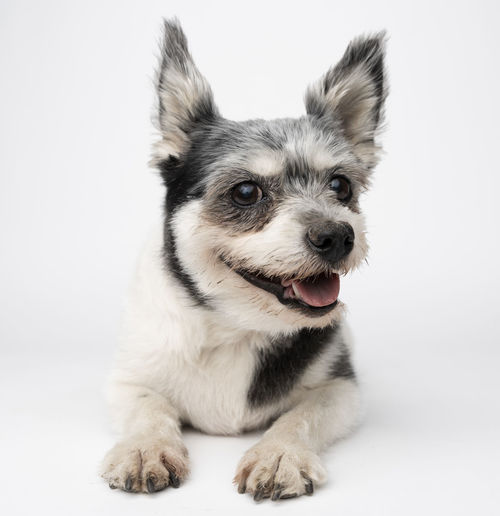Animal Animal Head  Animal Themes Canine Close-up Cute Dog Domestic Domestic Animals Indoors  Looking At Camera Mammal No People One Animal Pets Portrait Sitting Studio Shot Vertebrate White Background Young Animal