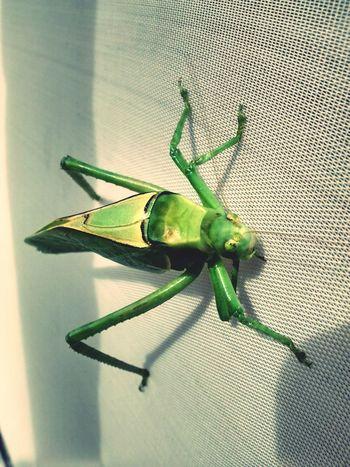 Langota Insecto
