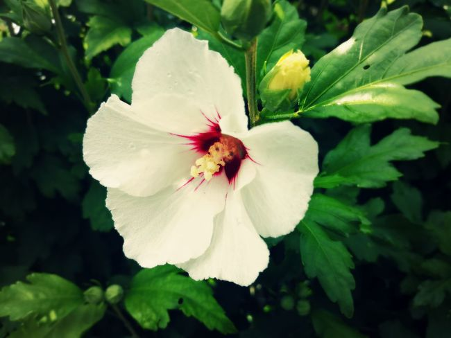 EyeEm Nature Lover EyeEm EyeEmFlower Eyeemflowerlover Nature Nature Photography Beauty In Nature Beautiful Nature Flower Head Flower Leaf Petal Blossom Close-up Plant Stamen Flowering Plant Hibiscus In Bloom Pistil Pollen Plant Life Botany Single Flower