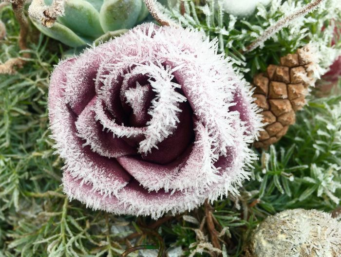 Violet Icy Graveyard Grave Rosé No People Day Cold Temperature Winter High Angle View Flower Head Freshness Frozen