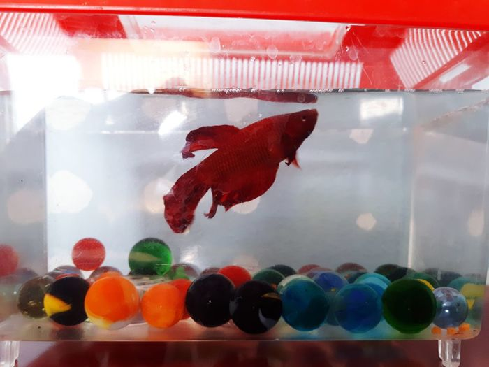 Huachi-pez Fish Pet Water Multi Colored Red Fishbowl