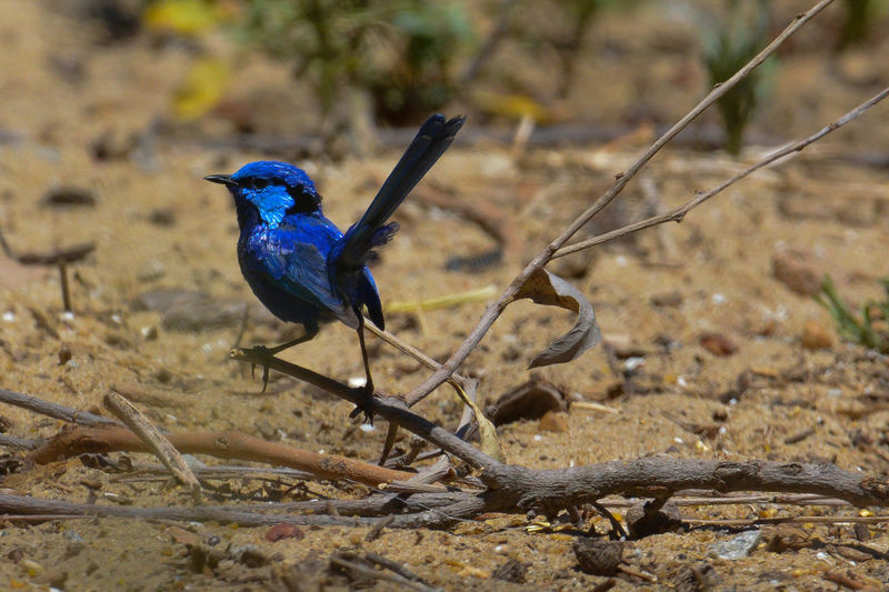 Gazisonit Animal Themes Animal Wildlife Animals In The Wild Bird Close-up Day Fairy Wren Focus On Foreground Nature No People One Animal Outdoors Perching Stick - Plant Part