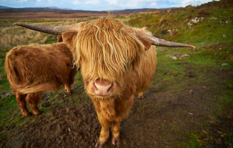 Mammal Animal Animal Themes Livestock Land Domestic Animals Cattle Domestic Brown Pets Domestic Cattle Field Landscape Group Of Animals Horned No People Highland Cattle Vertebrate Mountain Nature Herbivorous Highlands Highland Cattle Highland Cow Cow Hairy  Long Hair Scotland Highlands Of Scotland Schottland Springtime Decadence