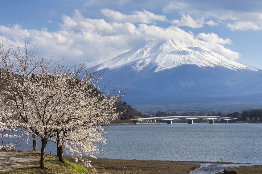 and cherry blossom at lake Kawaguchiko, Japan Cherry Blossom Tree Kawaguchiko  And Cherry Blossom In Autumn Japan Beauty In Nature Bridge - Man Made Structure Cloud - Sky Cold Temperature Kawaguchiko Lake Lake Mountain Mountain Peak Nature Outdoors Pink Cherry Blossoms Plant Sky Snow Snowcapped Mountain Tranquil Scene Tranquility Tree Water