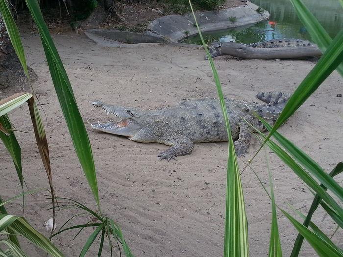 Smile cocodrile