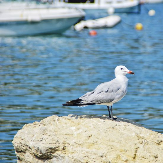 Seagull Bird Perching Water Sea Full Length Seagull Beach Side View Close-up Sea Bird Swimming Animal Harbor Water Bird Port