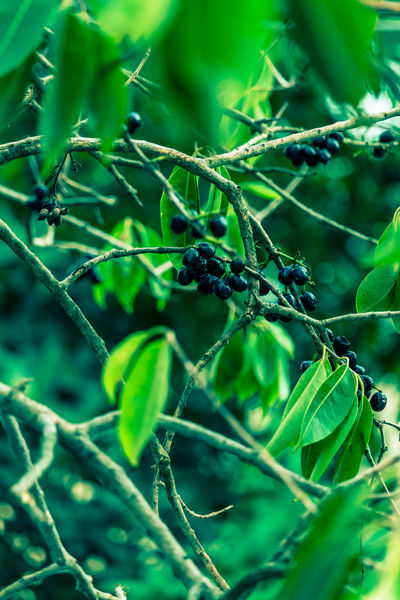 Blackburries Summer Fruits Beautiful Nature Blackberry Tree Leaves_collection Brunch Green Natur EyeEm Nature Lover EyeEm Gallery Check This Out Taking Pictures