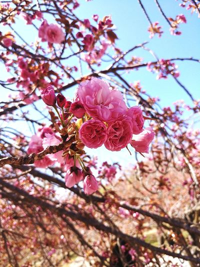 끝자락에 걸친 봄 Gyungju Bulguksa Flower Head Tree Flower Branch Springtime Plum Blossom Pink Color Petal Blossom Twig Cherry Blossom Flower Tree First Eyeem Photo
