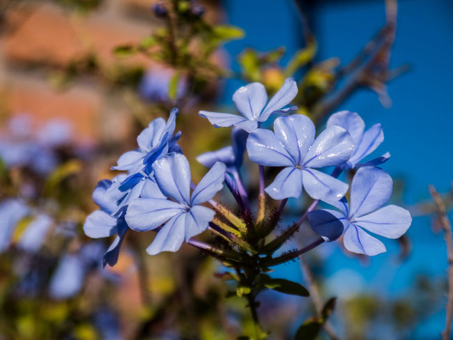 Beauty In Nature Blue Close-up Day Flower Flower Head Flowering Plant Focus On Foreground Fragility Freshness Growth Inflorescence Nature No People Outdoors Petal Plant Pollen Purple Selective Focus Vulnerability  White Color