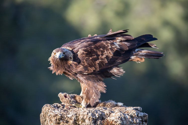 Eagle perching on rock