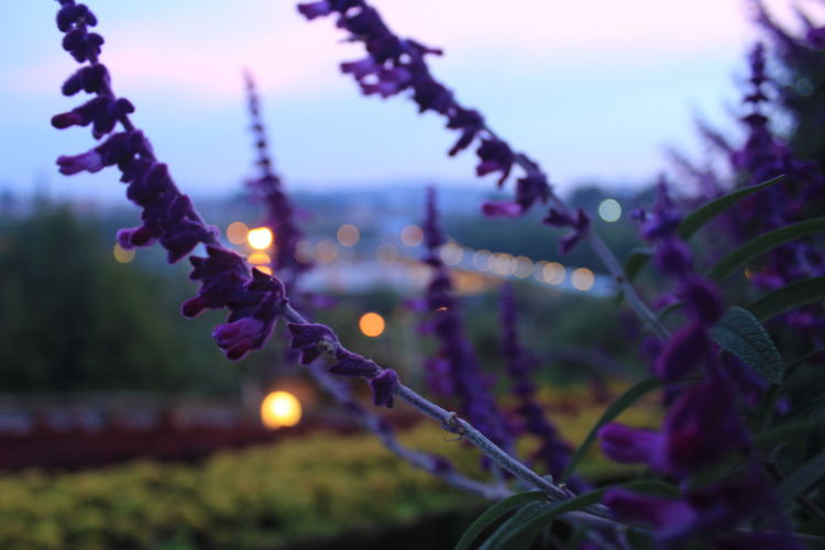 lavender Purple Lavender Nice Flower Hill Mountain Cold Freshness Air Beauty In Nature Dusk Purple Nature Plant No People Close-up Night