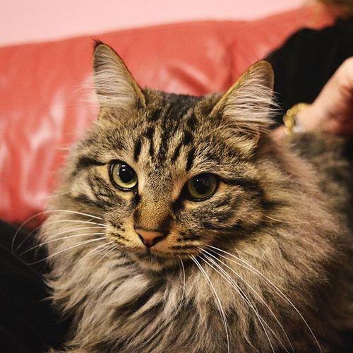 Steve the Cat . Kitty Gatto Bellodimamma Leone Lion Sguardo  Tiodio Nontisopportopiù Stop Taking  Photo