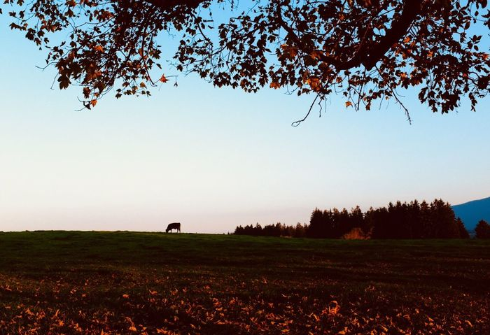 Cow Herbst🍁 Plant Sky Tree Environment Landscape Tranquility Beauty In Nature Field Animal Animal Themes Agriculture Mammal Clear Sky Nature Land No People Non-urban Scene Scenics - Nature