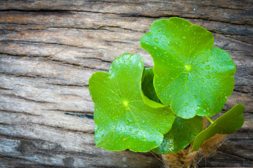 Pennywort born on the old wooden,water drops on green leaf Healthy Plant Backgrounds Wood Outdoors Beautiful Pennywort Leaf 🍂 Green Leaves Nature Beautiful Nature Born To Be Wild Foodphotography Old Tree Texture And Surfaces Copy Space Freshness Drops Of Water