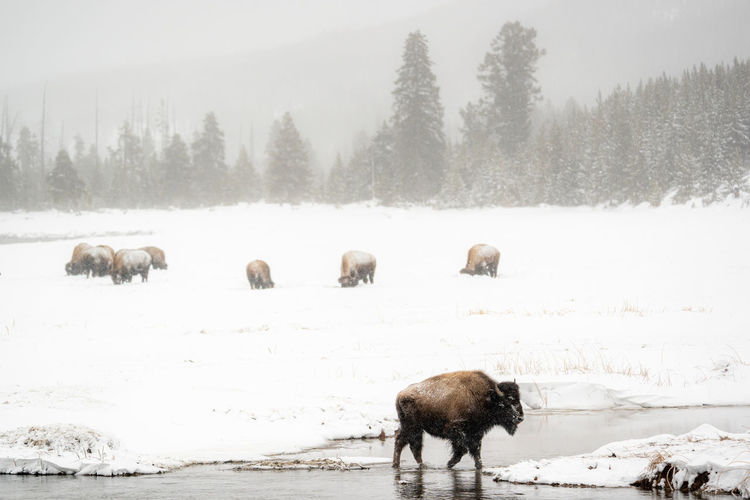 View of sheep on snow covered land