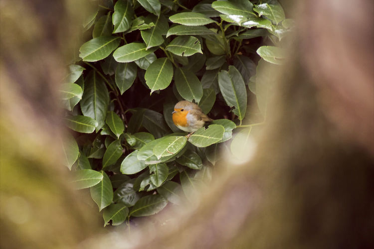 Animal Themes Animals In The Wild Bird Close-up Day Green Color Growth Leaf Mammal Nature No People One Animal Outdoors Robin Redbreast