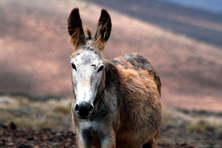 Portrait Of Donkey Standing On Field