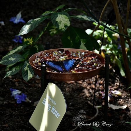 Caught a Bluemorpho putting on a show :-) Butterfly Meijergardens GrandrapidsInstagrammers Grgram