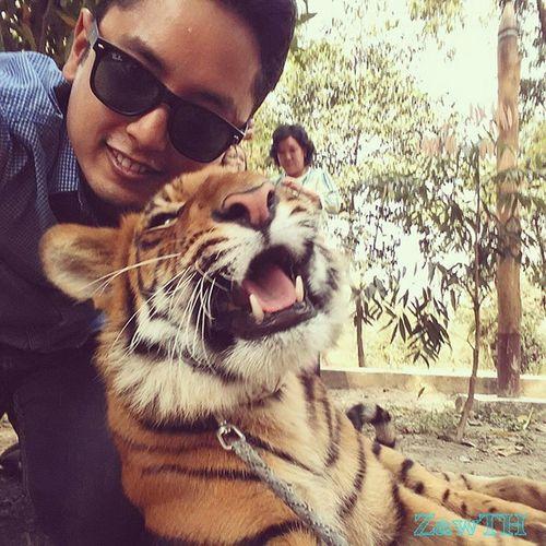 Playing with my pet ヅ . Pet Tiger Savethetiger Savethetigers Savethewildlife Bigcat Bigcatdiary Wwf Peta Zoo Mandalay Myanmar Burma Igersmandalay Igersmyanmar Burmeseigers Tigercub Vscomyanmar Exploremyanmar Goldenland Wildlifeeveryday GalaxyGrand2 Zawth Yatanarpon Cat catlover