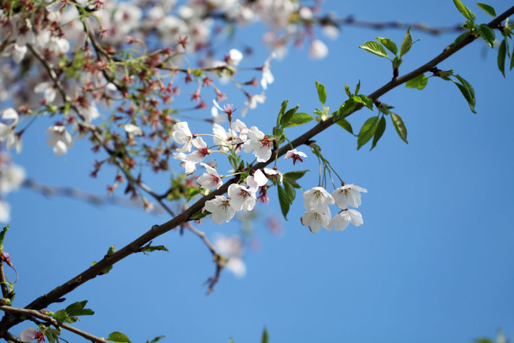 Twig abloom Abloom Beauty In Nature Blossom Blue Skies Branch Branches And Sky Cherry Cherry Blossom Cherry Blossoms Close-up Diagonal Flower Flower Head Growth Nature Outdoors Pattern Sky Spring Spring 2017 Springtime Tree Twig