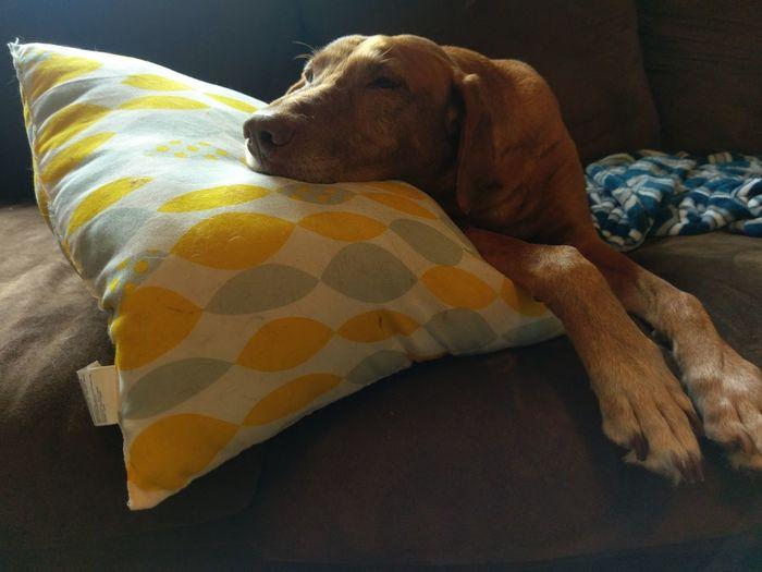Sleepy afternoon~ Vizsla Life Vizsla Vizslalove Dog Dog Love Sleepy