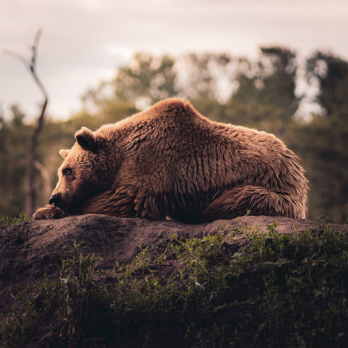Chilling bear on the rock