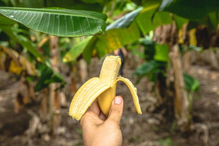 Cropped Hand Holding Banana At Farm