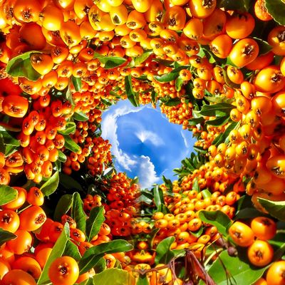 3XSPUnity EyeEm Best Shots Enjoying Life EyeEmNewHere No People Fruit Food And Drink Orange Color Food Low Angle View Healthy Eating Freshness Decoration Close-up Day Sky Growth Nature Red Beauty In Nature Plant Abundance Full Frame Hanging