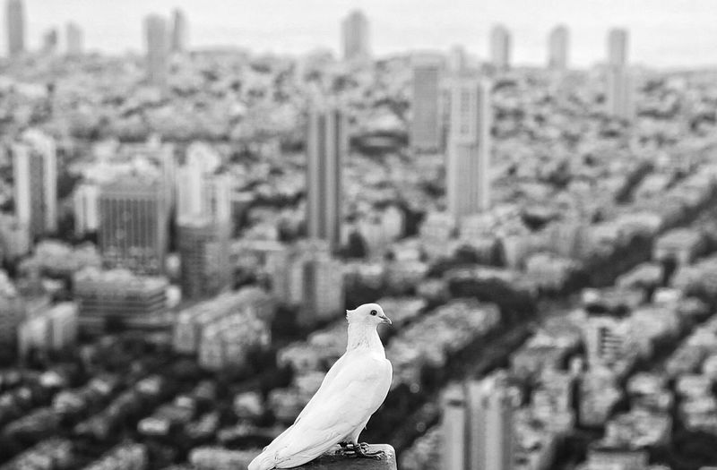Dove against cityscape