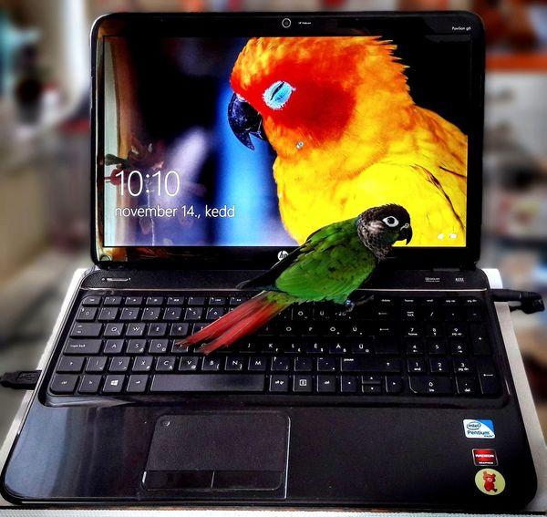 Bird Parrot Sun Conure  Sun Conure Parrot Green Cheek Conure HP Laptop Windows 10 Indoors  No People