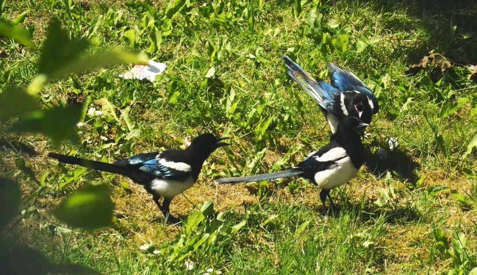 A Parliament Of Magpies Animal Themes Animals In The Wild Beauty In Nature Bird Bird Photography Cawing Day Field Grass Nature Nature In Your Neighbourhood No People Outdoors Spread Wings Wildlife Photography