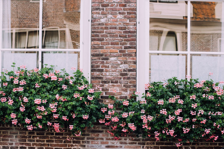 Windows with flowers Architecture Beauty In Nature Blooming Brick Wall Building Building Exterior Built Structure Day Enkhuizen Façade Flower Fragility Growing Growth Holland Ijsselmeer Nature Netherlands No People Outdoors Pink Color Plant Residential Building Residential Structure