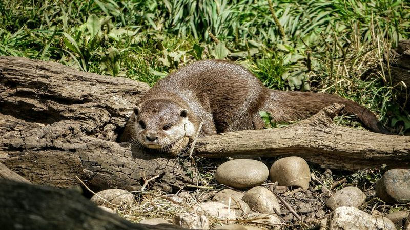 Zoo Animals  Otter Zoo Wildlife Photography Cotswold Wildlife Park