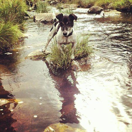 Alfie on a rock Dog Jackrusselterrier Jrt . Jackrussell jackrussel Dartmoor Devon