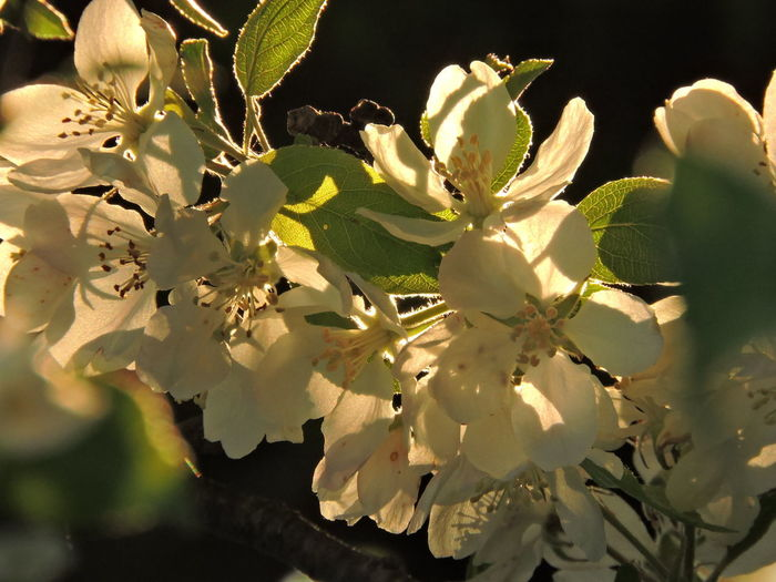 Sunlit Beauty Blooming Trees Flower Flowering Plant Plant Growth Fragility Freshness Beauty In Nature Vulnerability  Close-up Petal Nature Inflorescence Flower Head No People White Color Day Springtime Sunlight Blossom Selective Focus Pollen Outdoors Cherry Blossom Spring