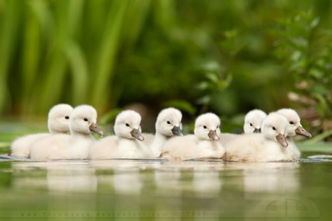 reflection, animal, young animal, animal themes, bird, no people, day, animals in the wild, outdoors, animal wildlife, togetherness, nature, water, swimming, swan, close-up, mammal