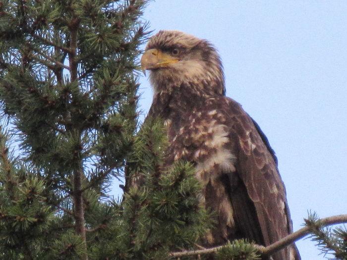 Sequim Bay Sentinel Bald Eagle Eagle Immature Bald Eagle Olympic Peninsula Sequim Bay Washington State Wildlife & Nature Beauty In Nature Bird Bird Of Prey Looking