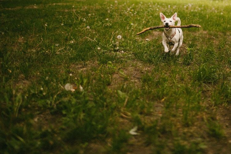 Animal Animal Themes Canine Day Dog Domestic Domestic Animals Field Grass Land Mammal Nature No People One Animal Pets Plant Portrait Running Selective Focus Small Vertebrate