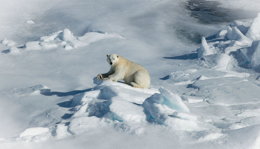 High Angle View Of Polar Bear On Snow Covered Field