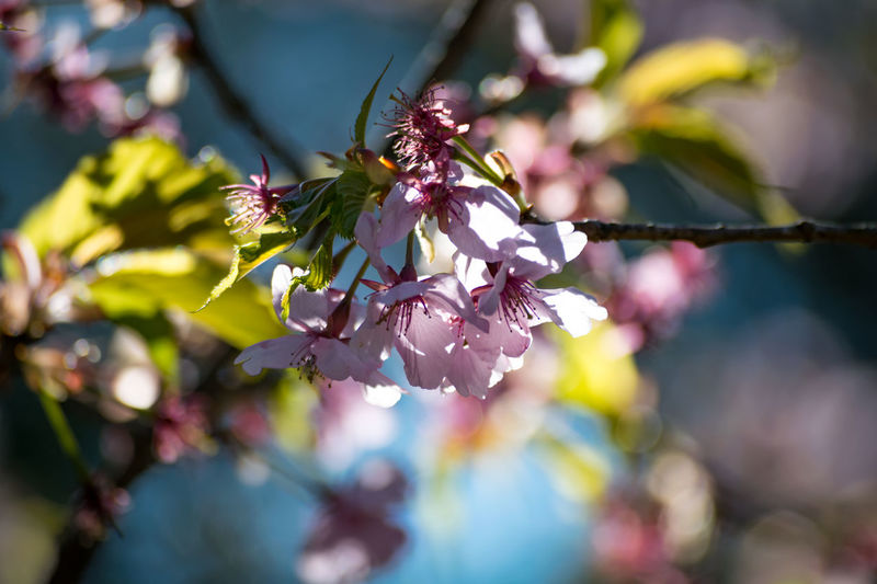 Beauty In Nature Blossom Branch Close-up Day Flower Flower Head Fragility Freshness Growth Nature No People Outdoors Pink Color Plant Springtime Sunlight Tree 河津桜 河津桜の葉