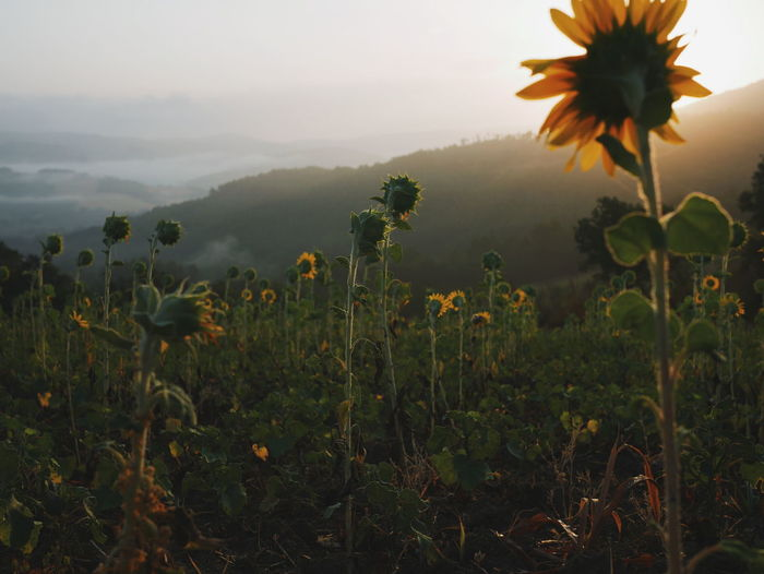 Plant Flower Nature Field Landscape Growth Outdoors Rural Scene Summer Agriculture Beauty In Nature Mountain No People Dawn Fog Italy Collazone Sunflower Sunflowers Sunrise The Great Outdoors - 2018 EyeEm Awards The Traveler - 2018 EyeEm Awards